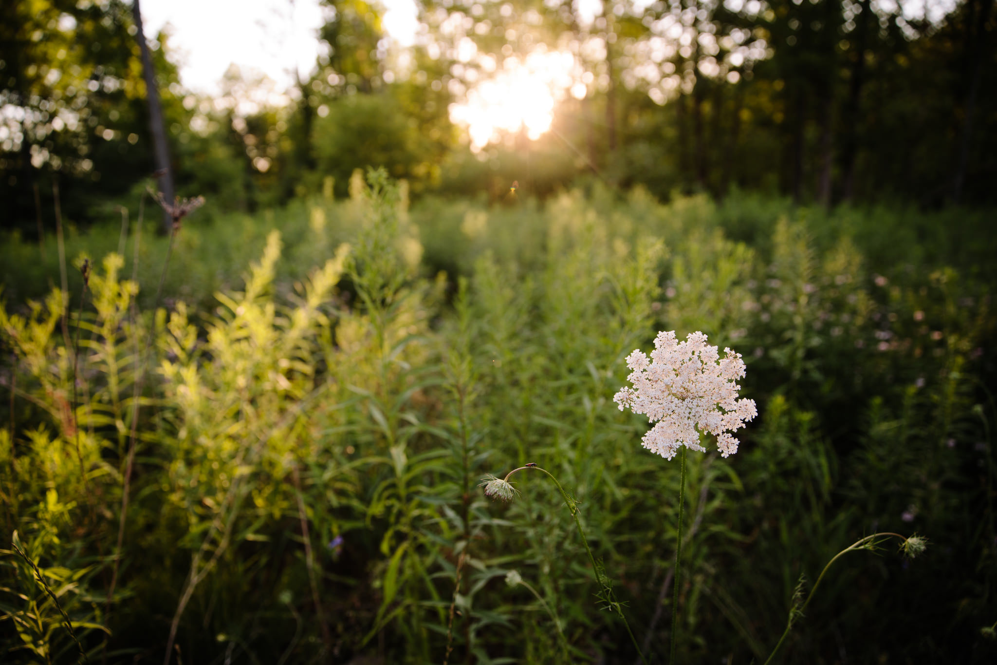 sunset shining through trees with queen anne lace in field