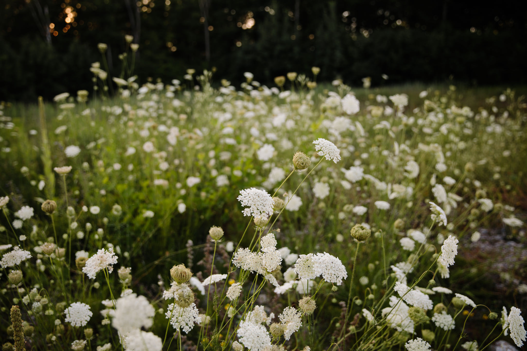 field of queen anne lace weeds